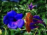 Rare 30 Pcs Blue Trumpet Vine Seeds Scarlet Campsis