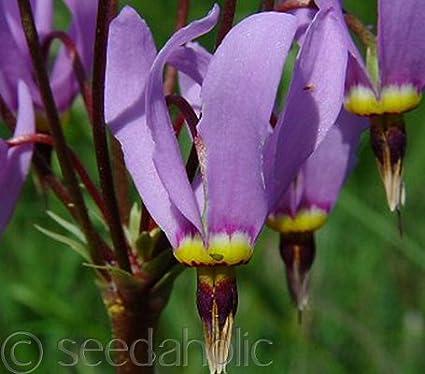 Perennial Shade Loving 25 Purple Dodecatheon