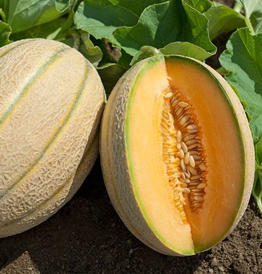 David's Garden Seeds Fruit Melon Wrangler D158Z (Orange) 25 Hybrid Seeds