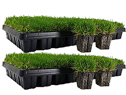 Zoysia Plug Tray / EZPlug 50 Plugs Per Tray(2 Pack) (Tips For Planting Grass Seed In Summer)