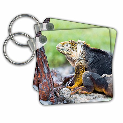 Danita Delimont - Reptiles - Ecuador, Galapagos Islands, Plaza Sur, Male land iguana. - Key Chains - set of 4 Key Chains - Plaza Kc