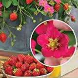 Clovers Garden Toscana Strawberry Plant- Two (2) Live Plants – Not Seeds – in 3.5 Inch Pots