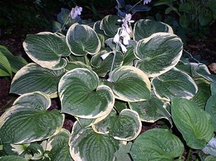 Hosta 'Christmas Tree' - Shade Perennial - Amazon.com : Hosta 'Christmas Tree' - Shade Perennial : Hosta Plants