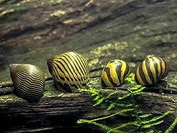 6 Nerite Snails COMBO PACK (Neritina natalensis) - 3 Tiger Nerite Snails, 3 Zebra Nerite Snails - Live Snails by Aquatic Arts