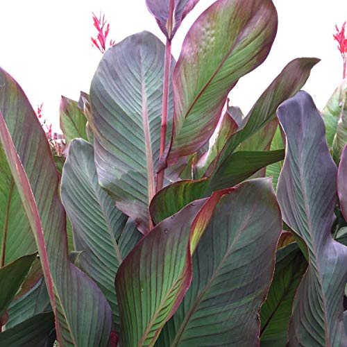 CANNAS-Musifolia 3 Per Bag Huge 4-6 Eye Bulbs! ()