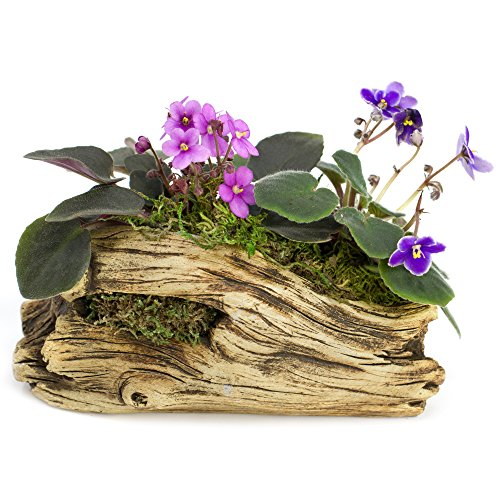African Violet Planter (Natural Elements Log Planter (Trunk) – Realistic woodland-themed with intricate weathered bark detail + Fiber Soil + moss mulch. Grow small succulents, cactus, African Violets. Striking in any décor.)