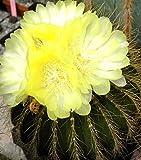 Eriocactus Claviceps rare parodia notocactus cacti cactus semi SEED 100 SEEDS