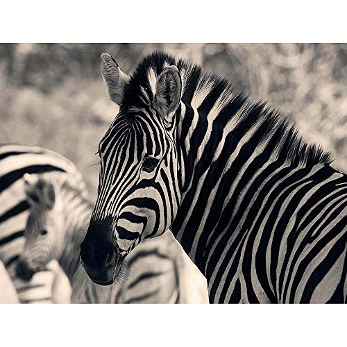 Used, Wee Blue Coo Animal Zebra Stripes BW Unframed Wall for sale  Delivered anywhere in USA