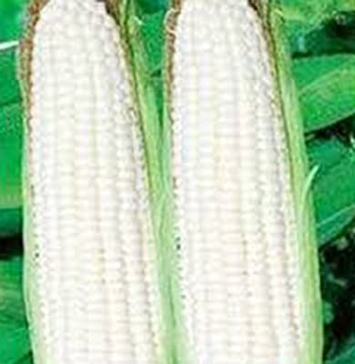 Corn, White, Stowell's Evergreen, Heirloom, Organic 500 Seeds, Delicious N Sweet