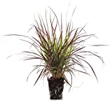Plants by Post 1-Gallon Grass Pennisetum Rubrum Fountain Live Plant Purple-Set of 2, Red
