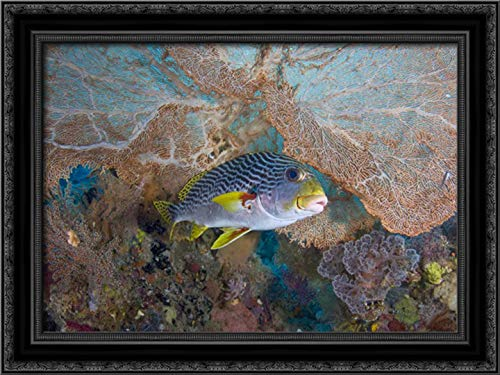 Indonesia Lined sweetlip Fish and sea Fan Coral 24x17 Black Ornate Wood Framed Canvas Art by Shimlock, Jones ()