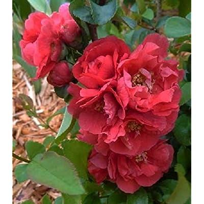 New Life Nursery & Garden / -Double Take Pink Storm Flowering Quince, Trade Gallon Pot : Garden & Outdoor