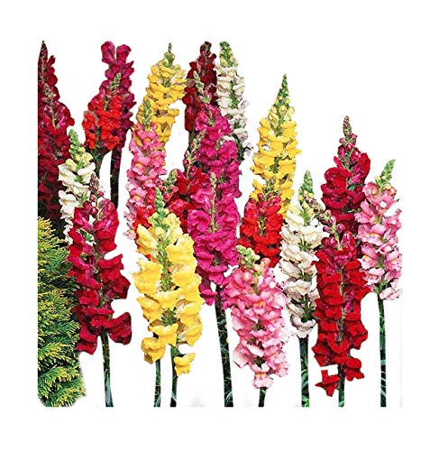 (Tetra Snapdragon Seed - Mixed Colors)