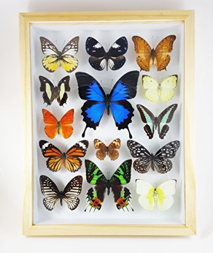 Angelwing Real Mix 14 Taxidermy Giant Butterfly Insect Display Wood Framed Mounted - The Vouchers Hut