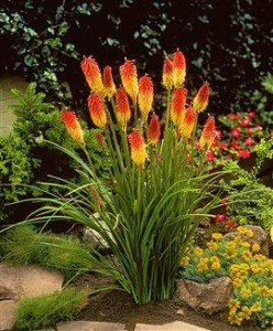 Fackellilie 10 Samen (Kniphofia uvaria)