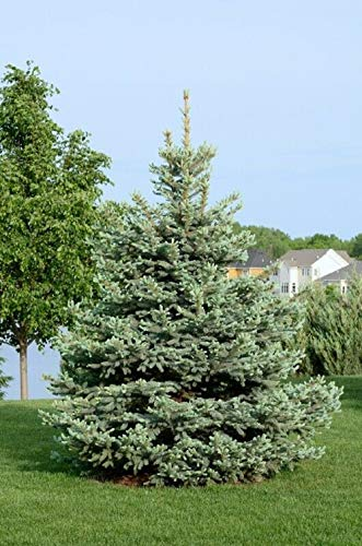 Colorado Blue Spruce Tree, Picea pungens 'Glauca' Live Bare Root Plant ()