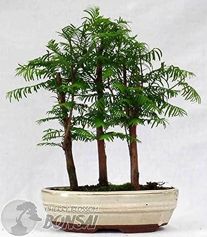 20 Dawn Redwood Bonsai Seeds Send 30 Japanese Pine Tree Seeds As Gift Forest Bonsai