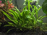 Aquatic Arts Java Fern - Huge 3 by 5 inch Mat with 30 to 50 Leaves - Live Aquarium Plant