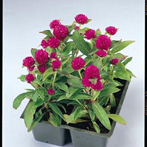 Creative Farmer Flower Seeds : Globe Amaranth Dwarf Plant Seeds...