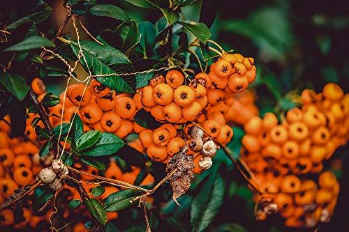 Amazon Com Photography Poster Rowanberries Bush Berries