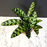 "Rattlesnake Plant - Calathea lancifolia - Easy To Grow House Plant - 4"" Pot"