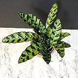 Rattlesnake Plant - Calathea lancifolia - Easy To Grow House Plant - 4'' Pot