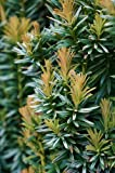 11 Year PLANT of Taxus Baccata Silver Spire