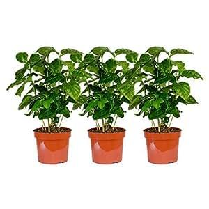 3 Plantas Café arabica en la,Aprox. 30 cm Planta del café,café mismo crecer,para Bebedores de café y amante del café,fácil de cuidar por lo tanto super conveniente como/Gracioso en la oficina/para