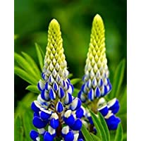 50Pcs/Bag Lupine Seeds Original Package Perennial Flower Seeds for Garden,Easy Grow,Bonsai Plant Home Garden