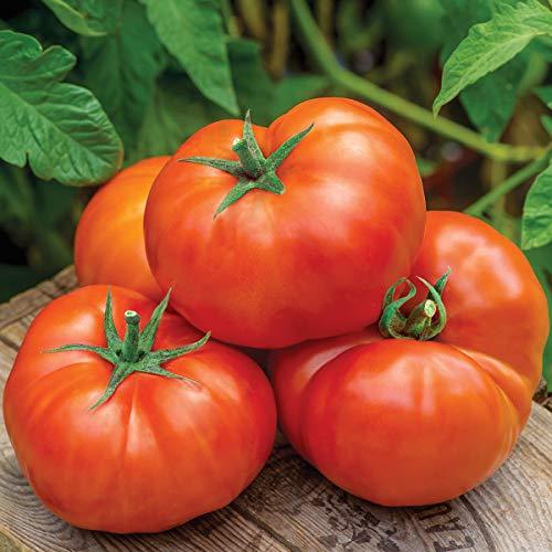 Burpee Jersey Boy Beefsteak Tomato Seeds 25 seeds