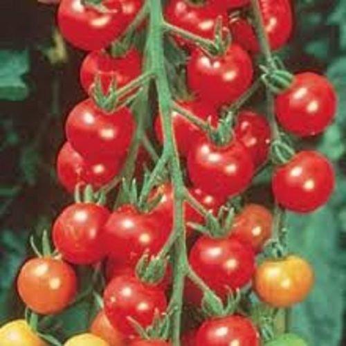 super 100 tomato - 4