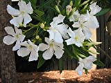 White Oleander aka Nerium oleander 'Sister Agnes' Live Plant - Fit 5 Gal pot-w FREE GIRF-From Bellacia Garden