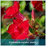 ZLKING 10pcs Mandevilla Sanderi Flower Seeds Bonsai Plants Beautiful Natural Flowers Perennial Plant Seeds for Home Garden
