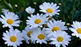 3000 Shasta Daisy Seeds Chrysanthemum Maximum by RDR Seeds