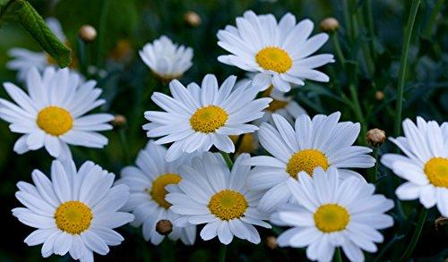 3000 Shasta Daisy Seeds Chrysanthemum Maximum by RDR (Shasta Daisy Germination)