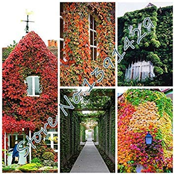 New Arrival! 100 pcs/ bag 5 colors Green Boston Ivy Seeds Ivy grass Seed For DIY Home & Garden Outdoor Plants tree Seeds - Arcis New