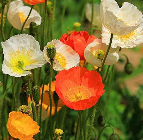 Seeds California Poppy 125 Seeds Ballerina Mix Eschscholzia Native Drought Tolerant Get 125 Seeds -