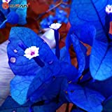 AL 100 New Real Blooming Rare Blue Plants Bougainvillea Spectabilis Willd Bonsai Plant Seeds