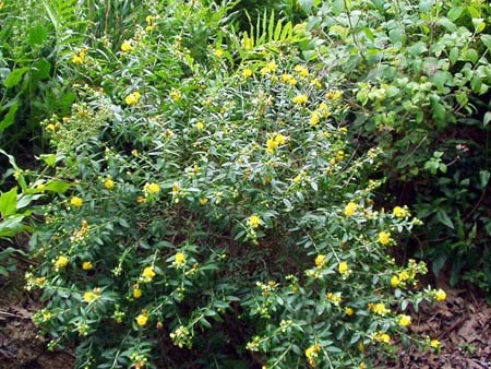Sunburst St. John's Wort (Hypericum frondosum 'Sunburst')