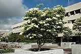 SYRINGA RETICULATA 'IVORY SILK'-JAPANESE TREELILAC-PLANT-APPROX 5 INCH-DORMANT