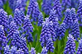 30 Grape Hyacinth Bulbs-muscari Armeniacum, Called Grape Hyacinth, Spring-blooming Bulbs~now Shipping, Pepennial
