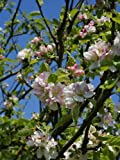 European Crab Apple, (French Crabapple), Malus