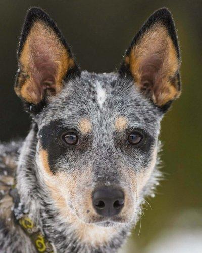 Australian Cattle Dog Blue Heeler: Artified Pets Journal/Notebook/Diary, 8