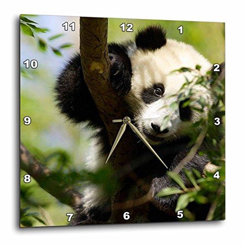 3dRose LLC DPP_88551_1 Wall Clock, 10 by 10-Inch, Giant Panda Bear, Research Station, San Diego Zoo Ca-Us05 Mpr0038-Maresa Pryor ()