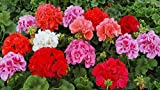 Hoo Products Geranium Appleblossom Rosebud Zonal Seeds, 10 Seeds, Professional Pack, Pelargonium Perennial Colorful Flowers