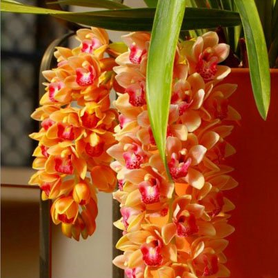 Potted Cymbidium - Mr.seeds Rare Cymbidium Seeds Balcony Yellow Cymbidium Faberi Potted Plants Flower Seeds Cicada Orchid - 100 PCS