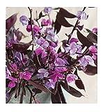 David's Garden Seeds Flower Hyacinth Ruby Moon SV1002 (Purple) 10 Heirloom Seeds