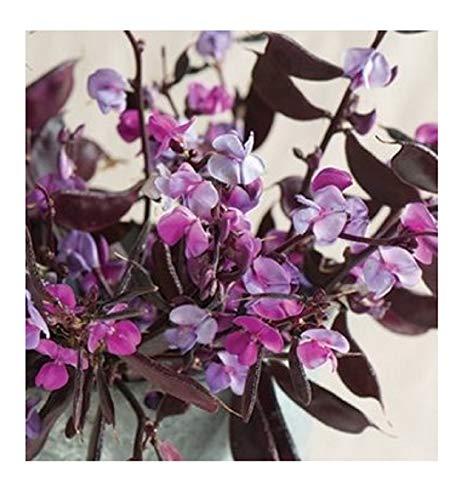 David's Garden Seeds Flower Hyacinth Ruby Moon SL1832 (Purple) 10 Non-GMO, Heirloom Seeds