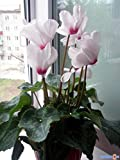 Cyclamen persicum grandiflora Anneli F1 Flower Seeds indoor from Ukraine