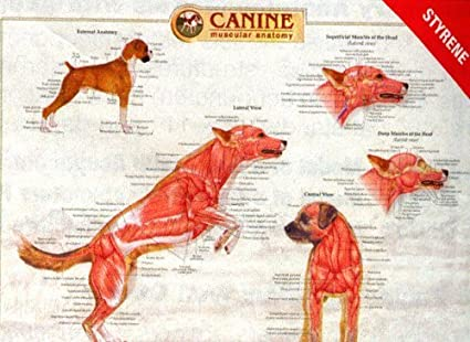 Canine Anatomy Complete Set Of 3 Charts Buy The Set And Save
